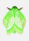 Rose-Myrtle-Lappet-Moth-(An-Inordinate-Fondness-#-2)-Roos-Holleman